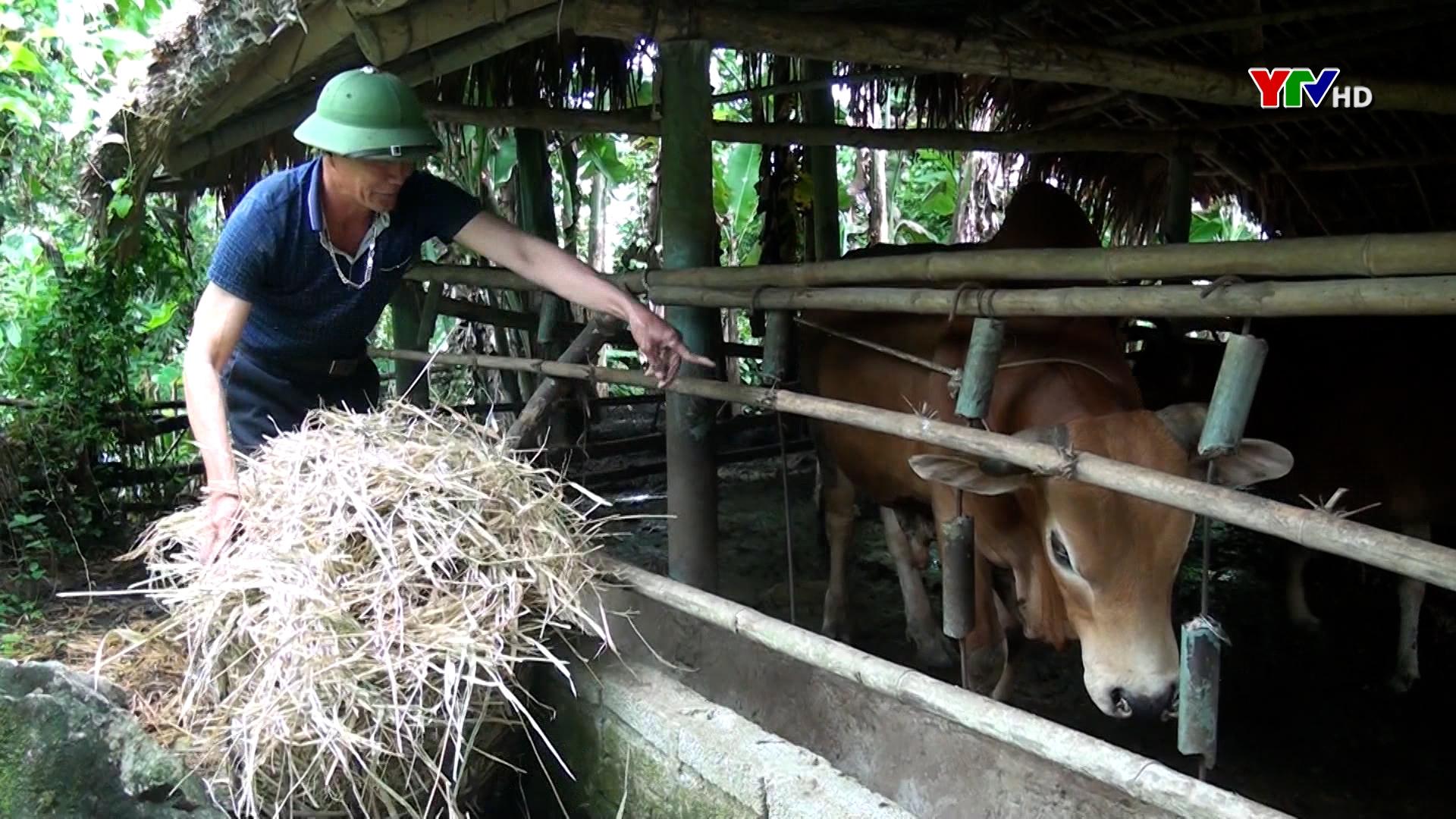 Huyện Lục Yên chủ động phòng chống đói, rét cho đàn gia súc