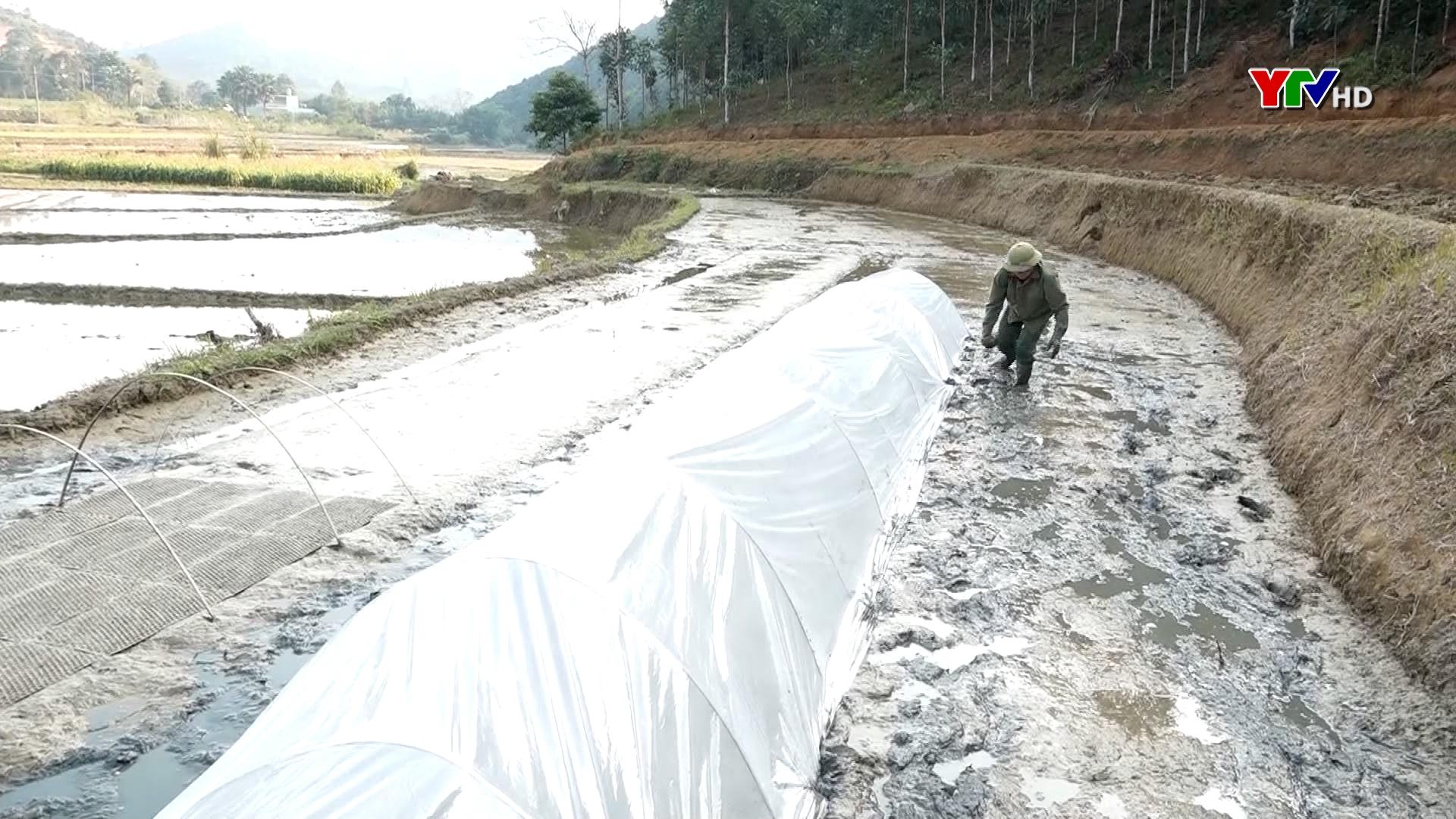 Huyện Văn Yên phòng chống rét cho mạ