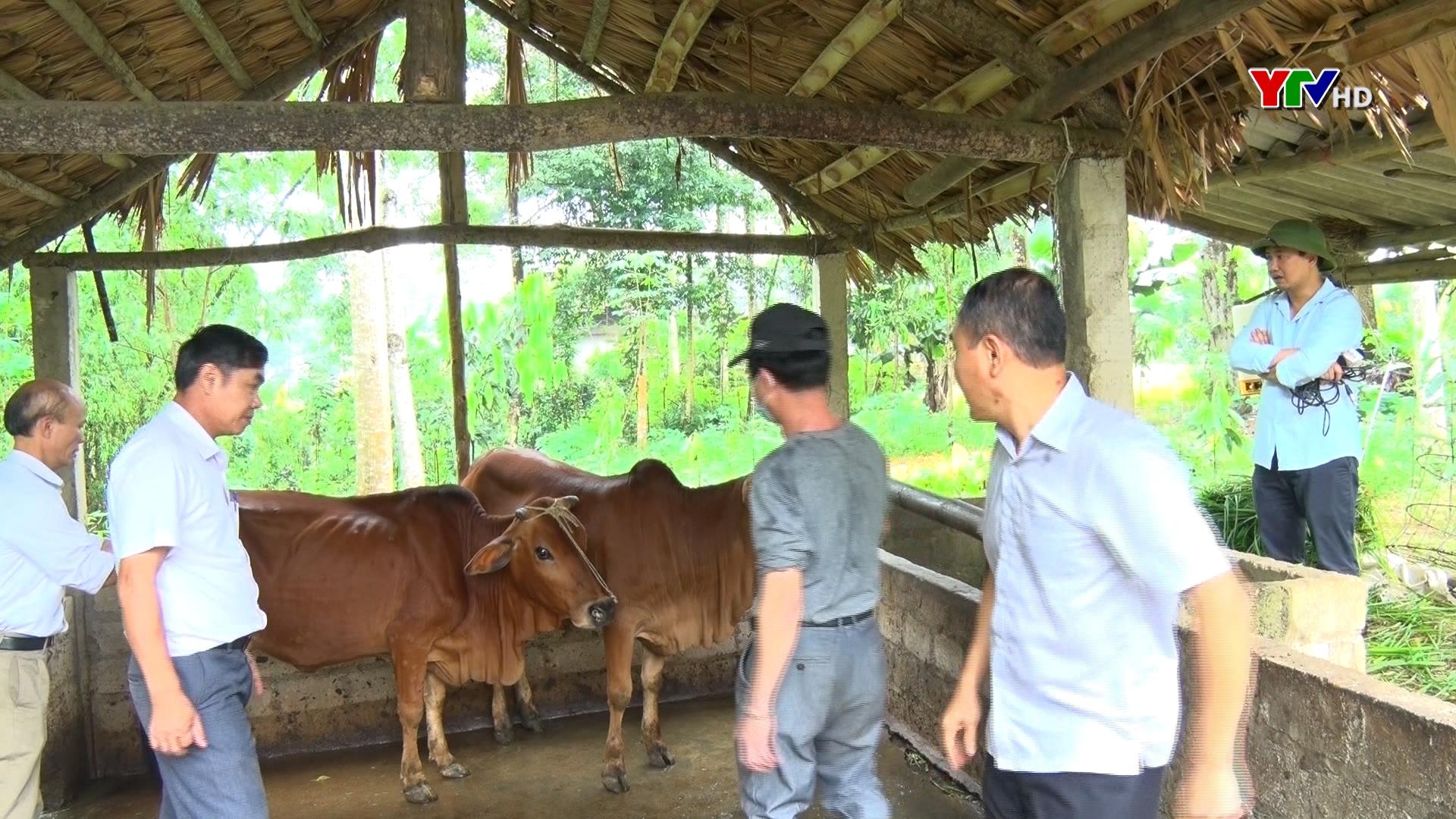 Yên Bái xuất hiện bệnh viêm da nổi cục trên đàn bò