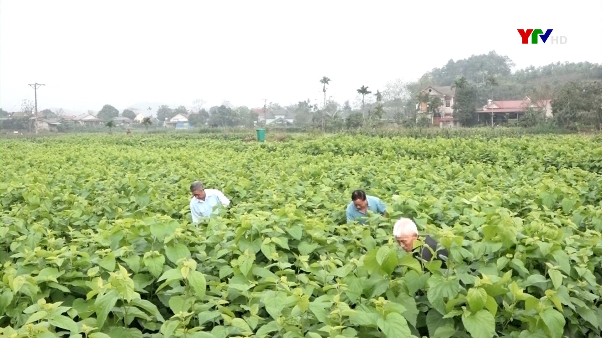 Nghề trồng dâu nuôi tằm ở Việt Thành, huyện Trấn Yên