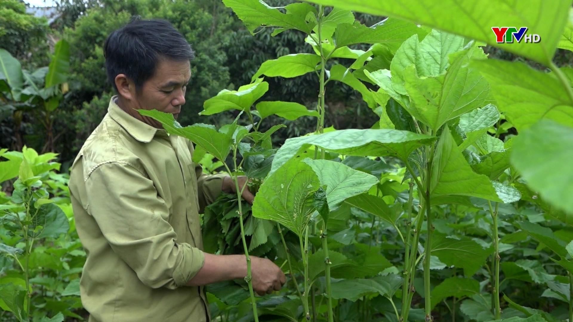 HTX Dịch vụ dâu tằm Sơn Thịnh thúc đẩy nghề trồng dâu nuôi tằm ở Văn Chấn phát triển