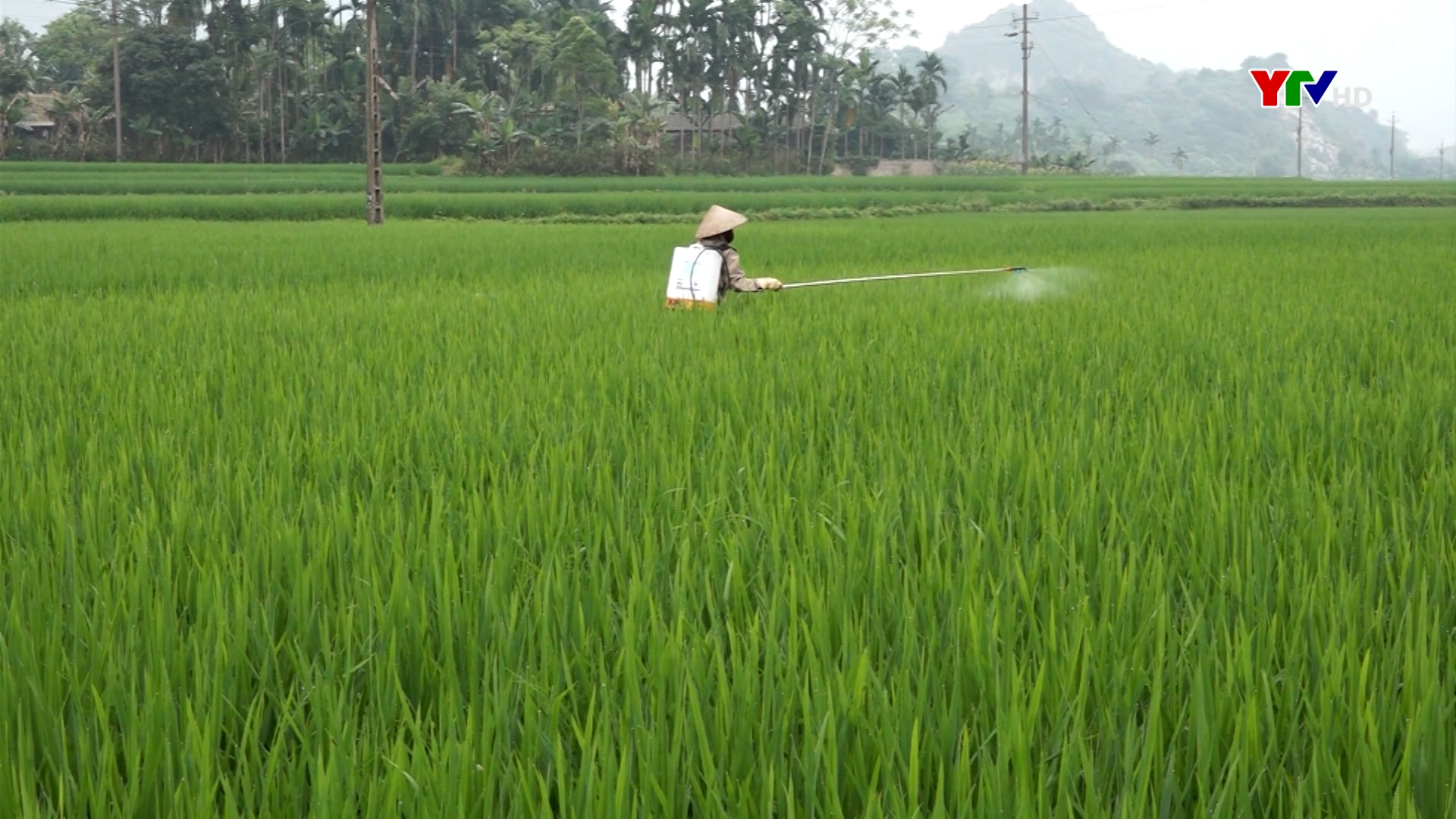 Lục Yên: 200ha lúa xuân bị sâu bệnh gây hại