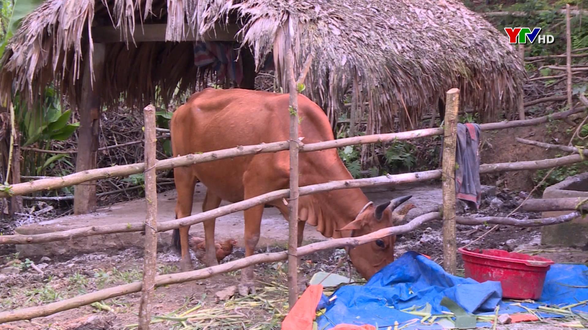 Xã Vĩnh lạc, huyện Lục Yên phát sinh bệnh viêm da nổi cục trên gia súc