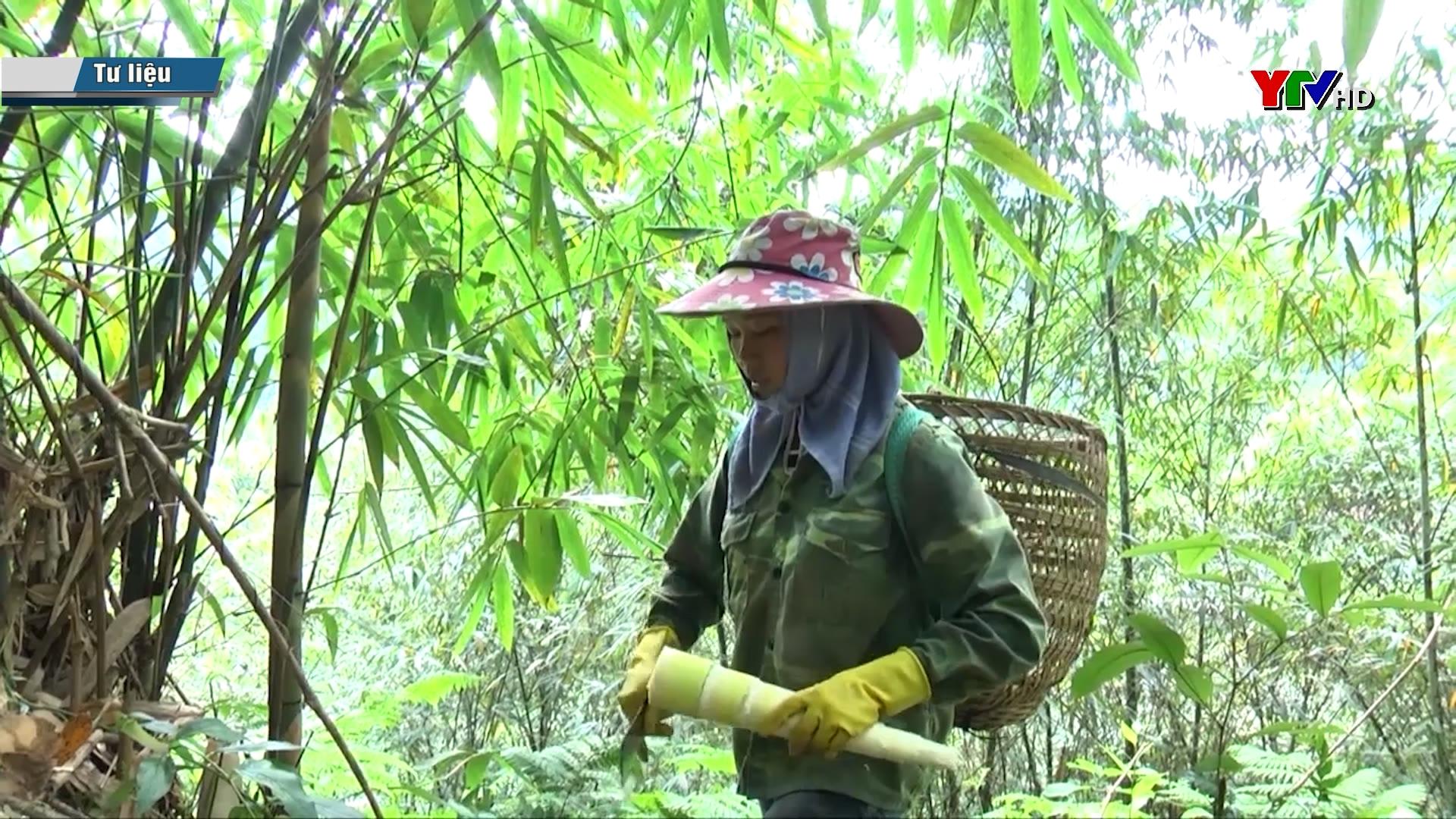 Sản lượng măng Bát Độ của huyện Trấn Yên đạt 200 tấn