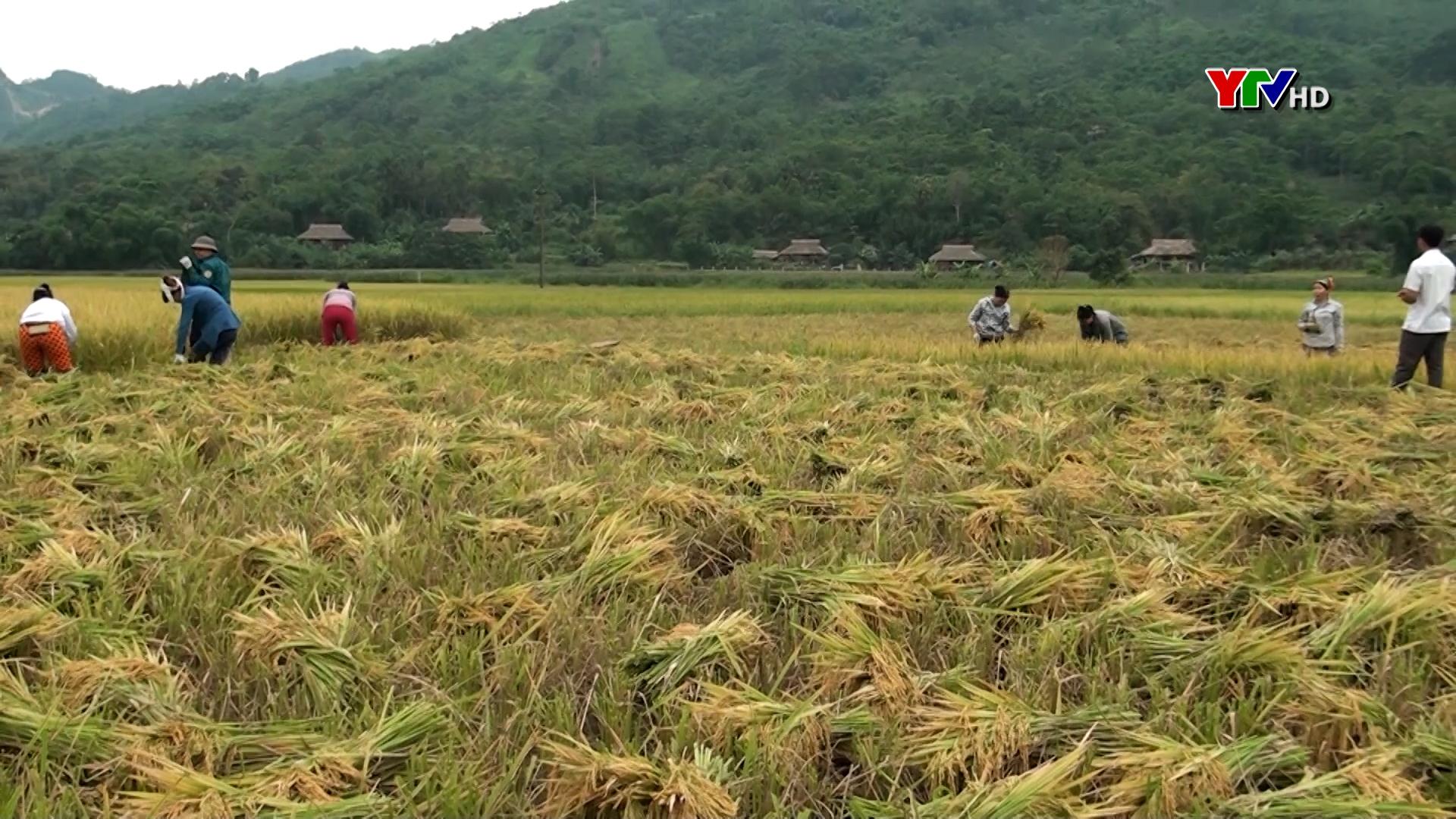 Lục Yên: Năng suất  lúa mùa đạt trên 54 tạ/ha