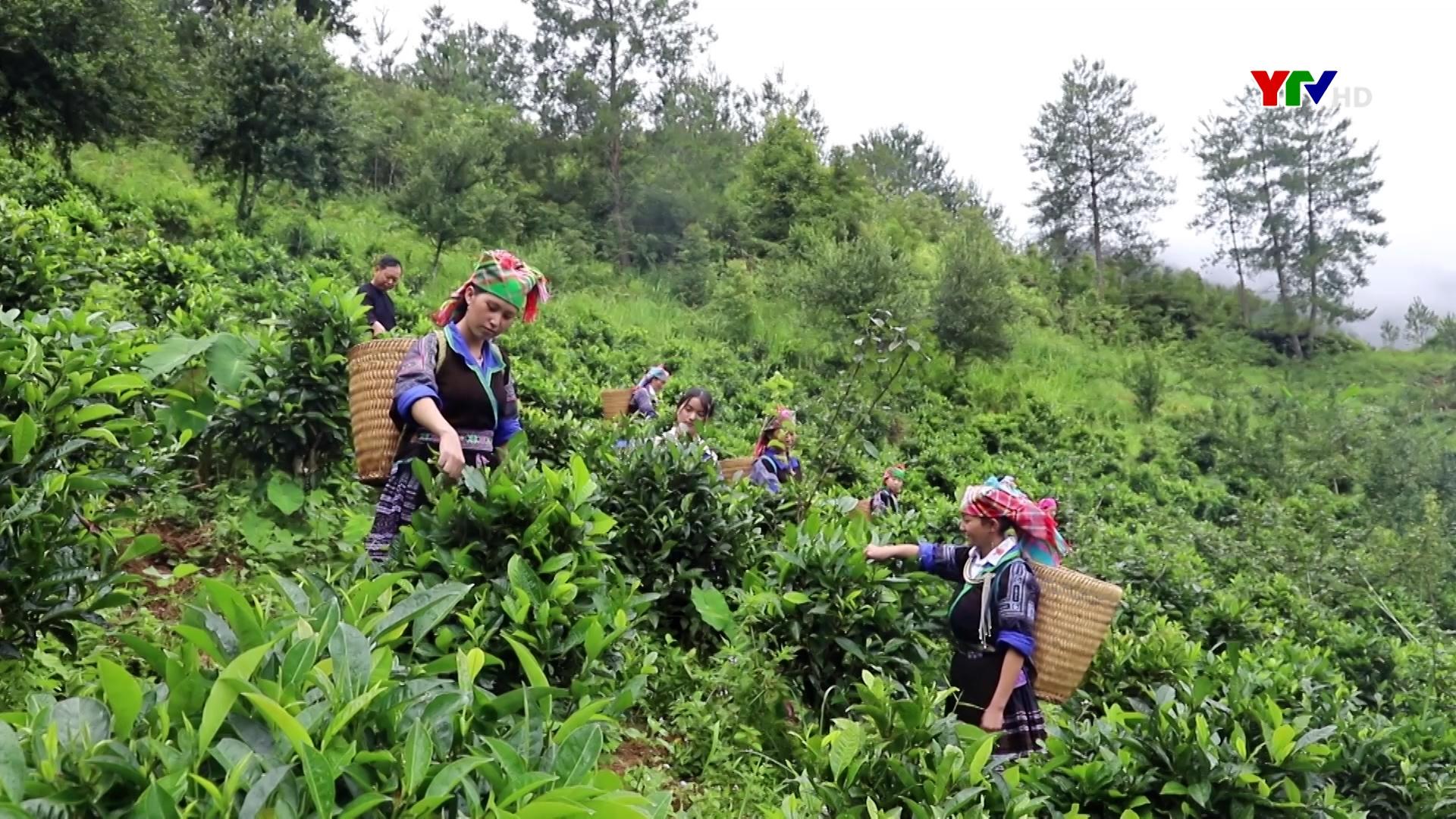 Chè Púng Luông – Hương vị của núi rừng