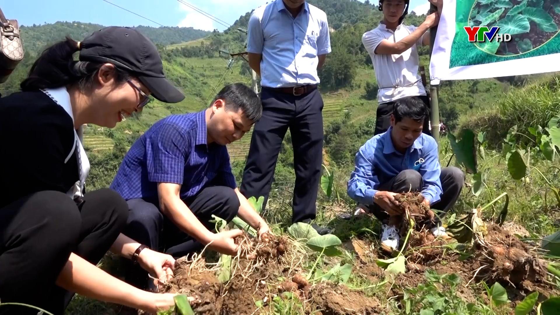 Huyện Mù Cang Chải đánh giá mô hình khoai sọ tại xã Hồ Bốn