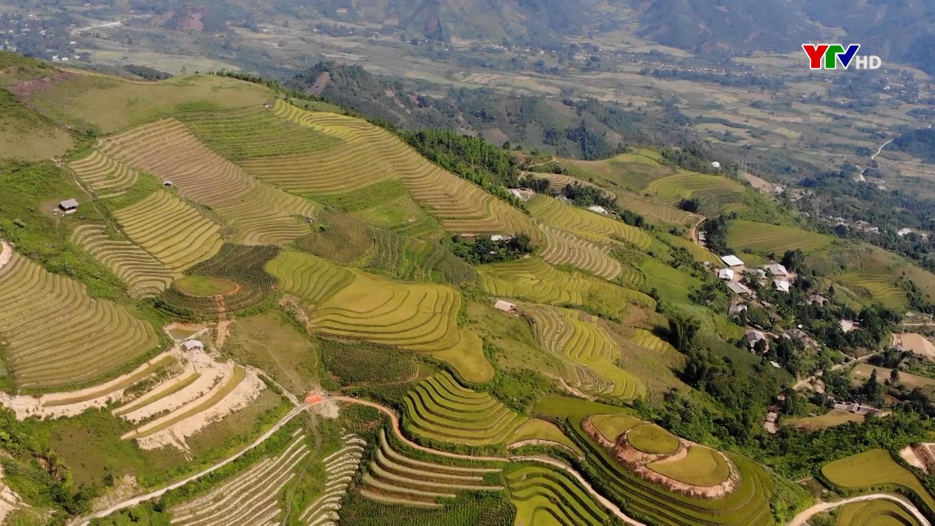 Mùa vàng ở Khe Táu, xã Phong Dụ Thượng, huyện Văn Yên