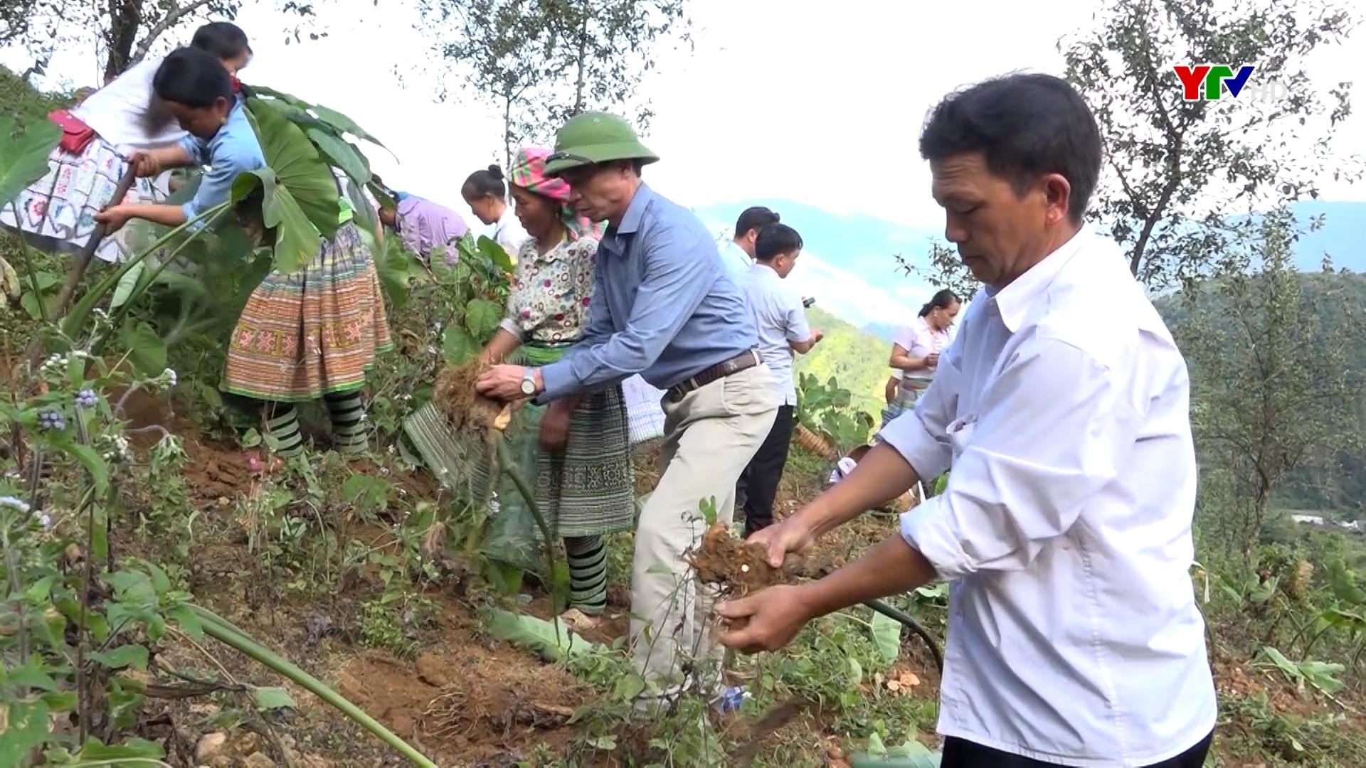 Sản lượng khoai sọ nương của huyện Trạm Tấu đạt gần 3.000 tấn.