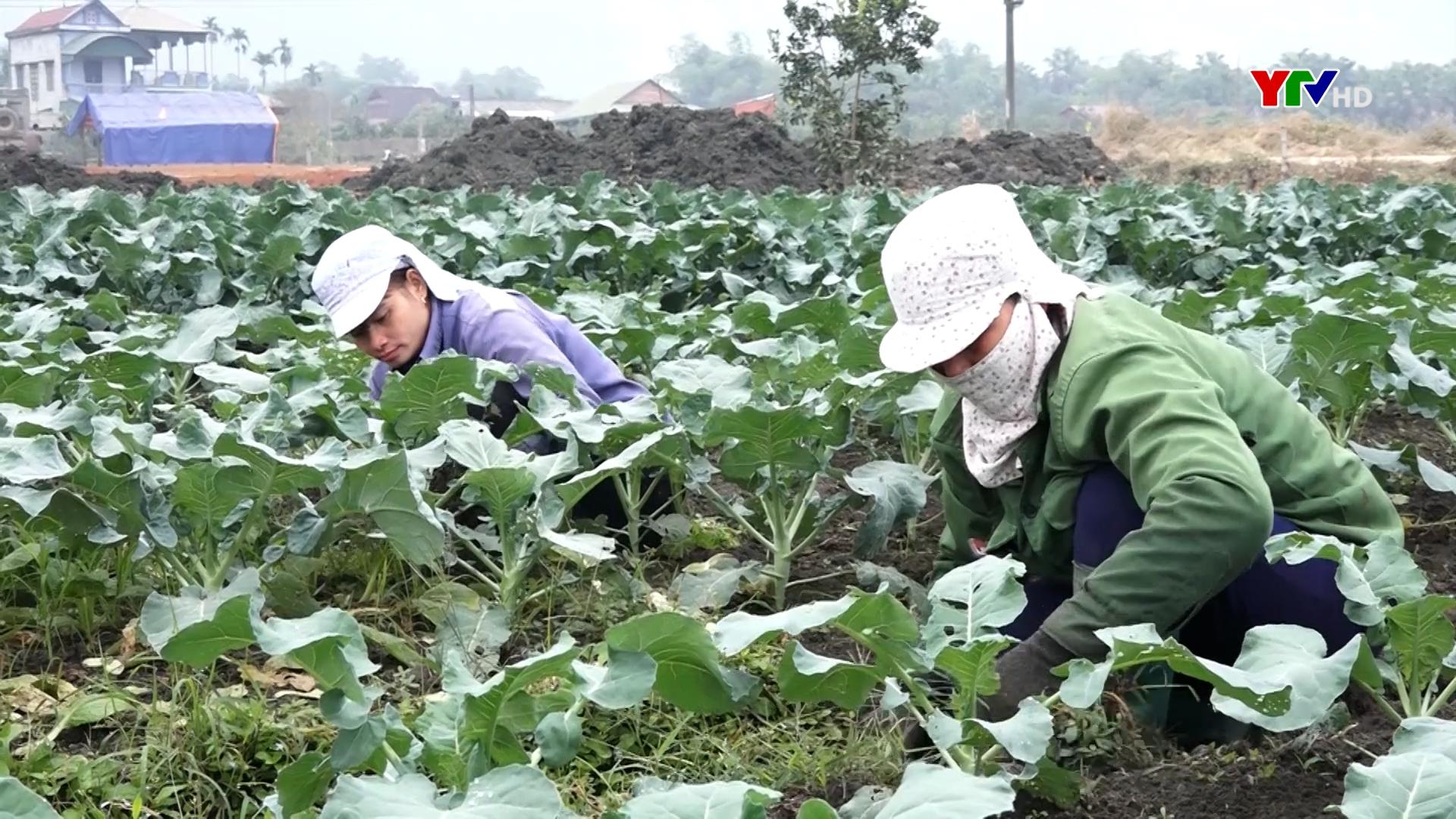 Lục Yên trồng 860 ha rau, đậu và khoai lang vụ đông.