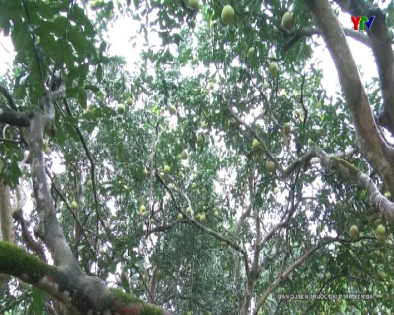 Yên Bình tổ chức Hội thi cây bưởi đẹp, vườn bưởi đẹp